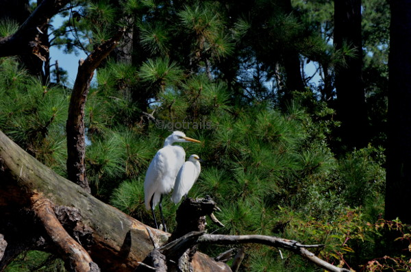 Egret family enjoying sunshine on wood beside pine tree