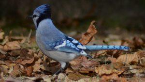 Blue Jay