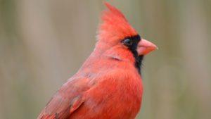 Northern Cardinal (Redbird)