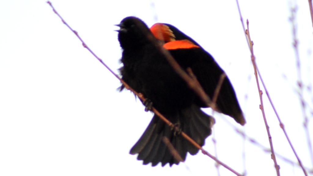 Bird Calling & Singing