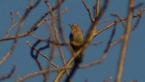 Rusted Blackbird