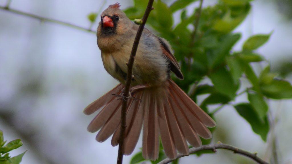 Bird Preening & Organizing Feather