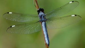 Spangled Skimmer Dragonfly