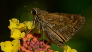 Dotted Skipper