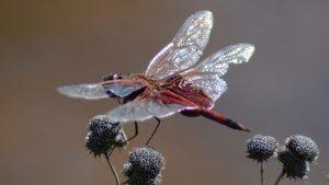 Red-mantled Saddlebags Dragonfly