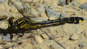 Dragonhunter Dragonfly