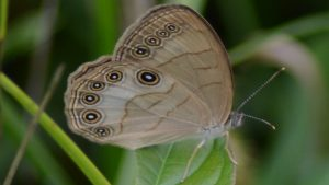 Eyed Brown Butterfly